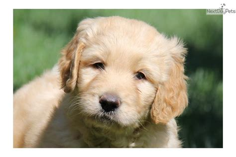 goldendoodle puppy names meet a goldendoodle puppy for sale for 800 goldendoodle