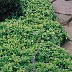 Japanese Flowering Shrubs - pachysandra terminalis