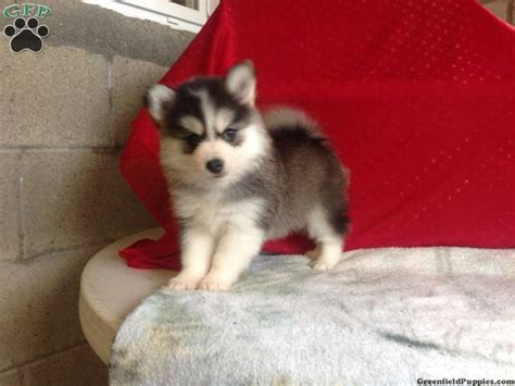 husky puppies for sale pa 126 best pomsky puppies adorable images on