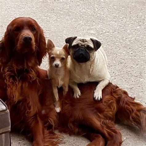 red setter dogs and puppies for sale irish red setter doncaster south yorkshire pets4homes