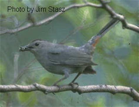 dumetella carolinensis grey catbird discover life
