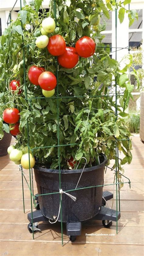 patio tomato grow a container vegetable garden on your patio tips