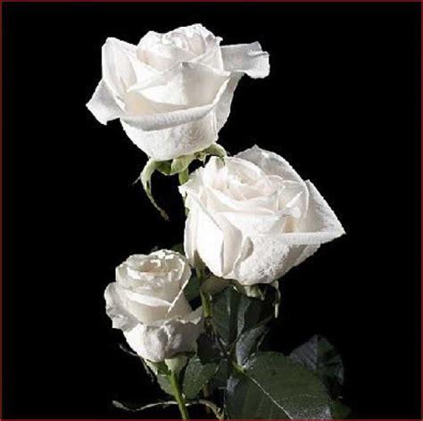 imagenes de rosas rojas image gallery hermosas rosas blancas