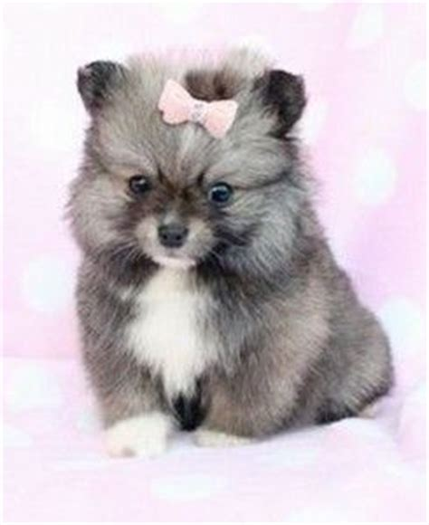 teacup husky puppies for sale 17 best ideas about pomsky puppies on husky pomeranian mix pomeranian