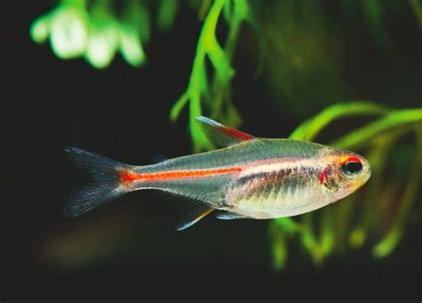 Singlet Easy Come Easy Go how to breed the glowlight tetra practical fishkeeping