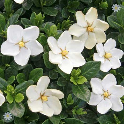 Gardenia Kleim S Hardy Pruning Gardenia Kleim S Hardy Set Of 3