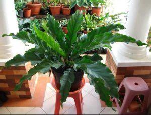 Tanaman Keladi Wayang kenali tanaman hias daun yang mempercantik rumah kita