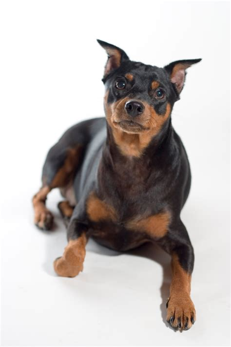Mini Pinscher Shedding by Miniature Pinscher Breed Information Puppies Pictures