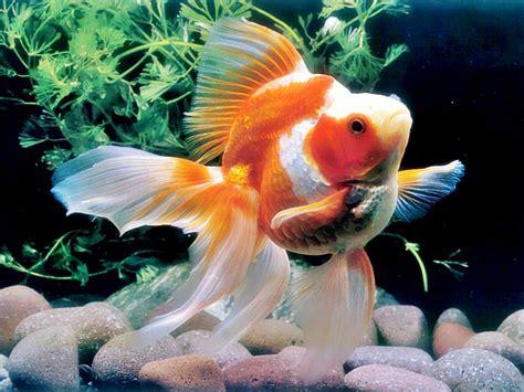 Pakan Ikan Hias Koki penyakit pada ikan koki akuarium ikan hias