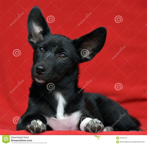 black fluffy puppy black with white fluffy stock photo image 61581541
