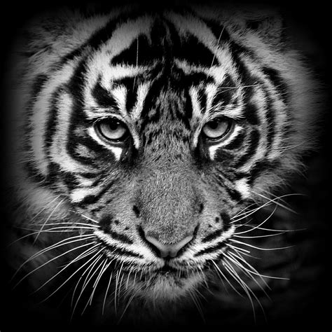 black and white tiger wallpaper tiger cub black white re work if anyone is interested