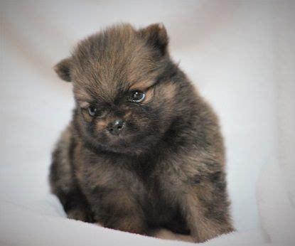 pomeranians for sale in arkansas 25 best ideas about pomeranian for sale on pomeranian puppies for sale