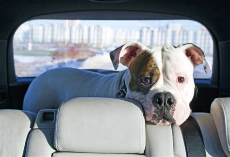puppy car sickness how to cure car sickness nation