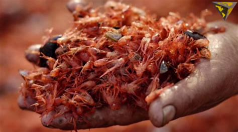Southern California Crustaceans The Heiress Crab by Thousands Of Tiny Tuna Crabs Invade Southern California