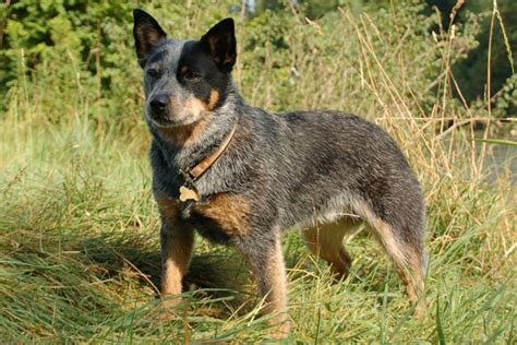 blue heeler dogs australian cattle blue heeler puppies for sale from reputable breeders