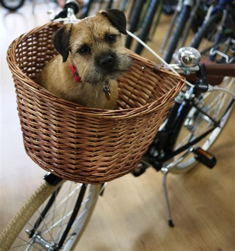 bicycle baskets for dogs 17 best images about border terriers on puppys
