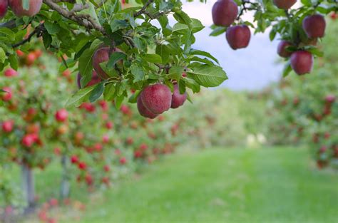 Interior Design Tricks by Varieties Of Apple Trees Climate Taste And Resistance