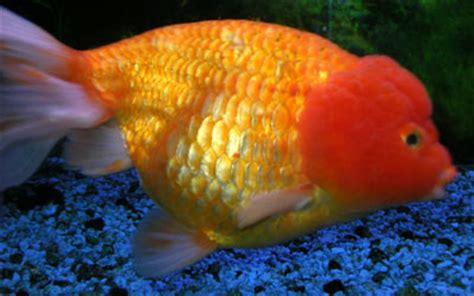 pesci testa di carassius auratus pesci coda semplice coda doppia