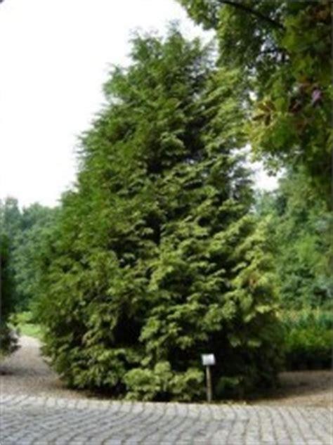 wann thujen setzen riesen lebensbaum zebrina