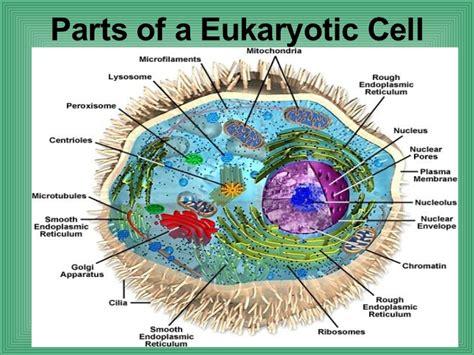 diagram of an eukaryotic cell diagrams of plant cell animal cell eukaryotic cell and