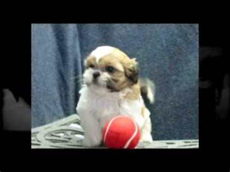teacup puppies for sale in mn bichons shih tzu s and poodles tiny teacup puppies for sale in minnesota