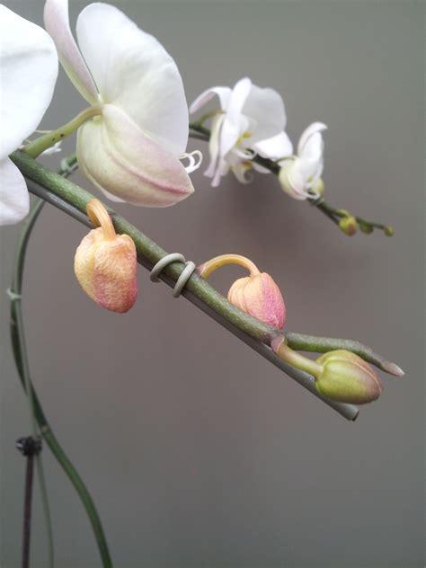 common orchid ailments