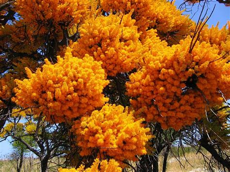 esperance wildflowers nuytsia floribunda wa christmas tree