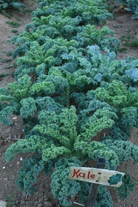 Kale Garden by How To Grow Kale Growing Kale Gardening Kale