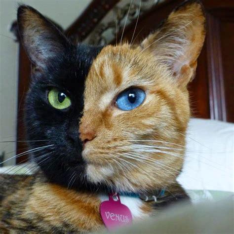 imagenes de gatas blancas animales con colores inesperados todo mascotas