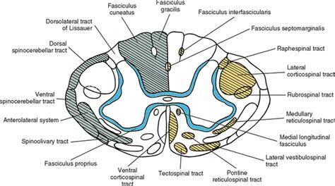 cross section of spinal cord tracts neuroanatomy of the spinal cord basicmedical key