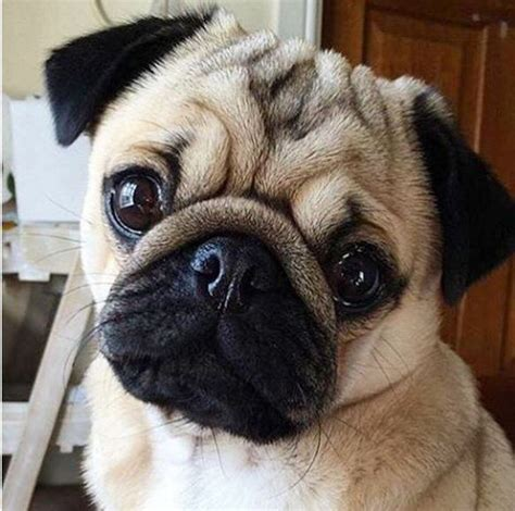 cutest pug 25 best ideas about pug on pugs pug puppies and baby pugs