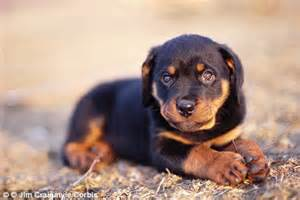 rottweiler puppies on craigslist rottweiler puppy craigslist dogs in our photo