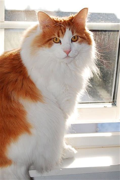 Calsedon White Cat Eye 39 best images about forest cat on