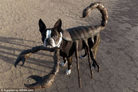spider costume for dogs look out here comes the spider boston terrier called echo parades itself in