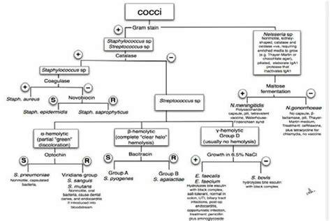 gram negative cocci identification flowchart gram positive cocci flow chart car interior design