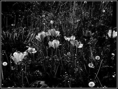 fiori bianco e nero tulipani in bianco e nero foto immagini piante