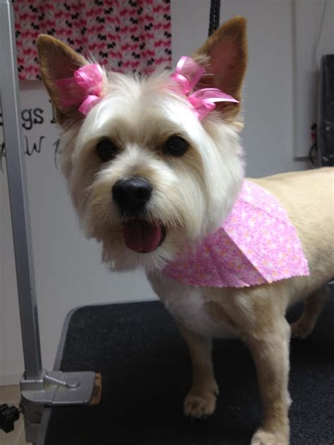 dog grooming cairn terrier audrey cairn terrier after her grooming at the spa yelp