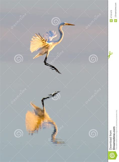 time flies reflections of great egret flies at sunset with reflection stock photo image 47101470
