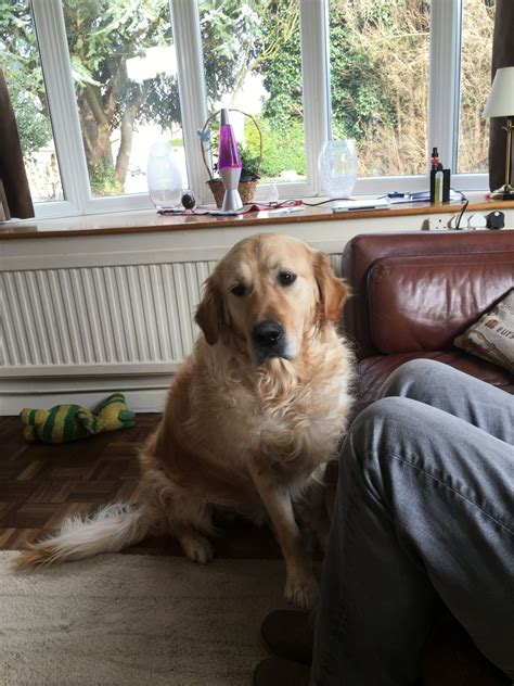 golden retriever puppies free to home free to home spalding lincolnshire pets4homes