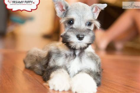 puppies for sale in dc miniature schnauzer puppies miniature breeds breeds picture