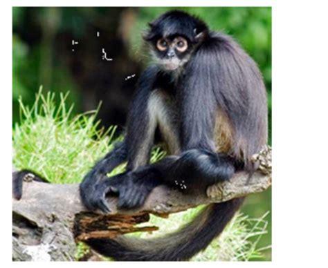spider monkey lamar university