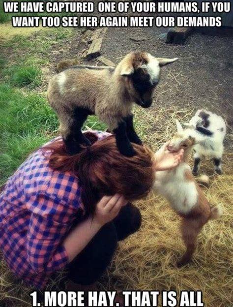 evil goat hostage situation wwwmeme lolcom cute