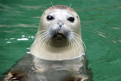 Wunsch: Geister-Symbol Seehund