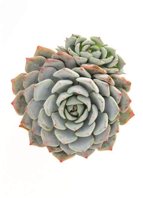 succulents in spain echeveria azulita for blue one is an echeveria minima hybrid and as a