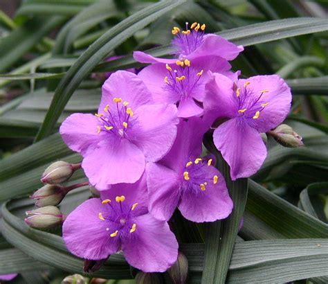 pretty plant spiderwort flowers plentiful and pretty