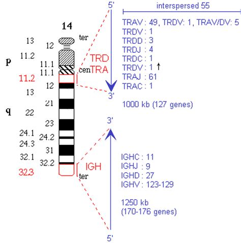 section 14 2 human chromosomes imgt repertoire ig and tr