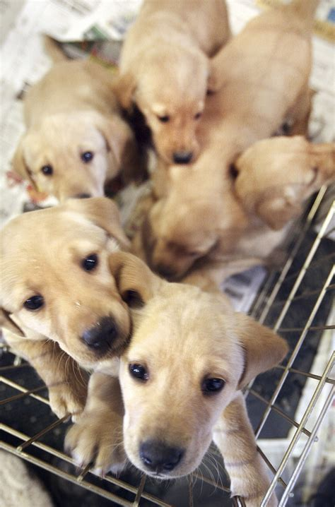 uber puppies uber is delivering puppies on demand orlando sentinel
