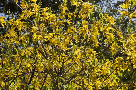 shrub with yellow flowers forsythia shrub with bright yellow four lobed flowers