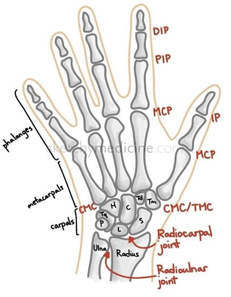 bone joint diagram bones and joints of the and wrist athletic