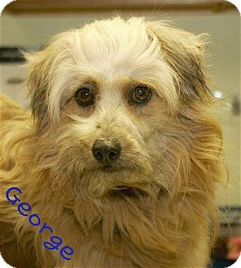 pomeranian mini poodle mix george adopted 108d norfolk ne poodle miniature pomeranian mix